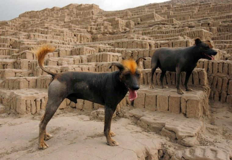 Peruvian Hairless dogs stand at the Huaca Pucllana archeological site in Lima