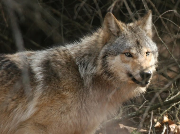Gray wolves like this one in Wisconsin were cited by the Bush administration as an example of why its reinterpretation of the Endangered Species Act will help wildlife.