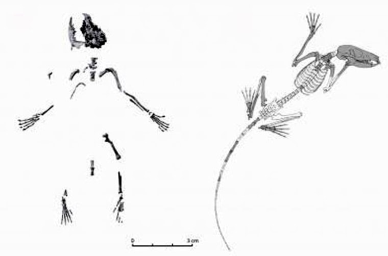 Composite (left) and reconstructed (right) skeletons of D. szalayi, the oldest known ancestor of primates.