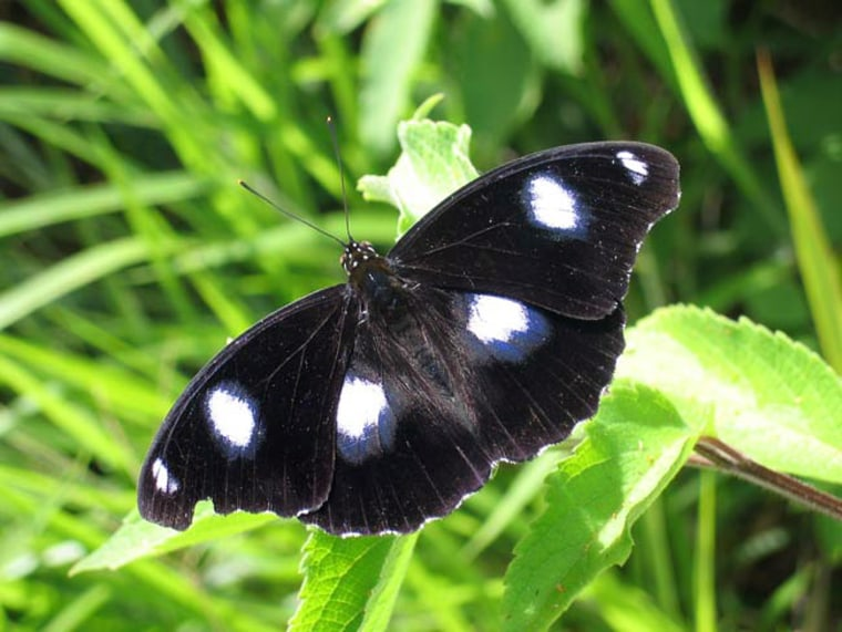 The common eggfly, Hypolimnas bolina, is often infected with a male-killing germ known as Wolbachia.