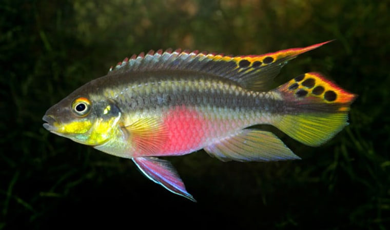 Scientists say the African cichlid Pelvicachromis taeniatus, a small monogamous fish that lives in the rivers and creeks of Cameroon and Nigeria, tend to favor inbreeding.