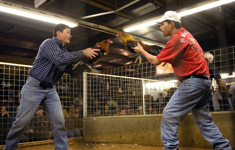 Jorge Prieto, from Big Spring, Texas, left, and Roy Morales, from Lubbock, Texas, flush their cockfighting roosters before a cockfight Feb. 2 at Tommy's Game Fowl Farm in Hobbs, N.M. After years of efforts by animal-rights activists and others, momentum is growing to ban cockfighting in New Mexico.