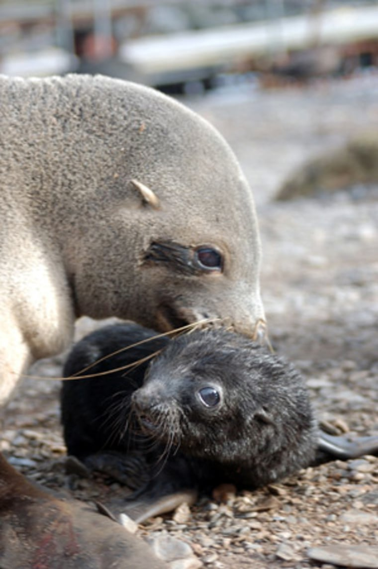 Female Antarctic fur seal with her pup.