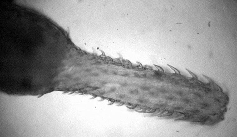 Parasitic worm Pomphorhynchus laevis uses barbs to hook onto shrimp-like hosts.