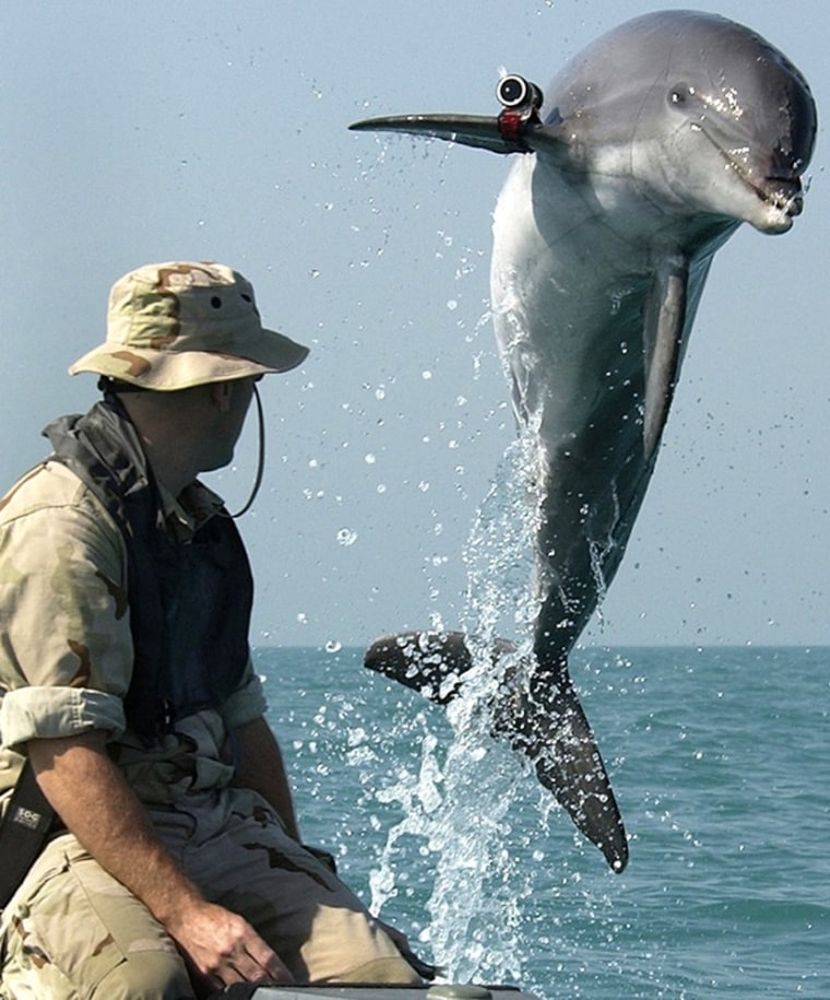 K-Dog, a Bottlenose dolphin, leaps out of the water in front of Sgt. Andrew Garrett while training near the USS Gunston Hall in the Arabian Gulf in March of 2003.