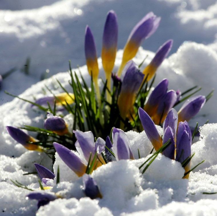 Crocus flowers show their blossoms through a layer of snow in Freiburg, southern Germany, in this photo from Jan. 28, one day in the warmest January ever.