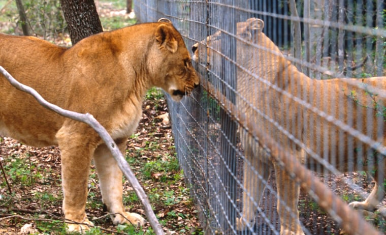 South Africa's newlaws protect lions from being hunted until two years after they are released into the wild and have developed survival instincts.