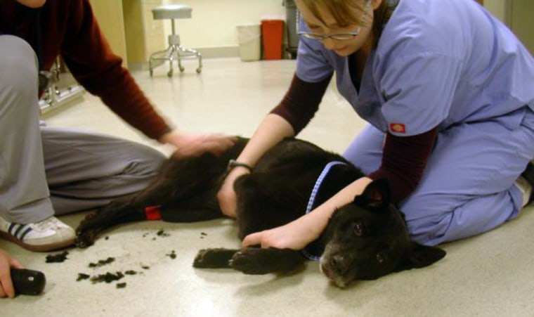 After spending the night on Mount Hood with three stranded climbers, Velvetis examined at an animal hospital in Portland, Ore., on Monday, where she wasfound to have minor cuts and abrasions.