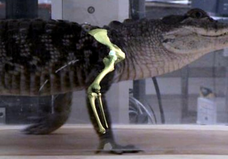 Brown University researcherscreated movies of an alligator on a treadmill as part of research into how flight evolved for birds.
