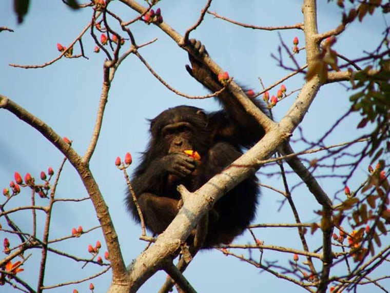 Researchers watched 10 chimps in Senegal fashioning spearlike tools to jab at primates known as lesser bushbabies inside hollow branches or tree trunks.The chimps thensniffed or licked their weapons, as if to see whether they shed blood.