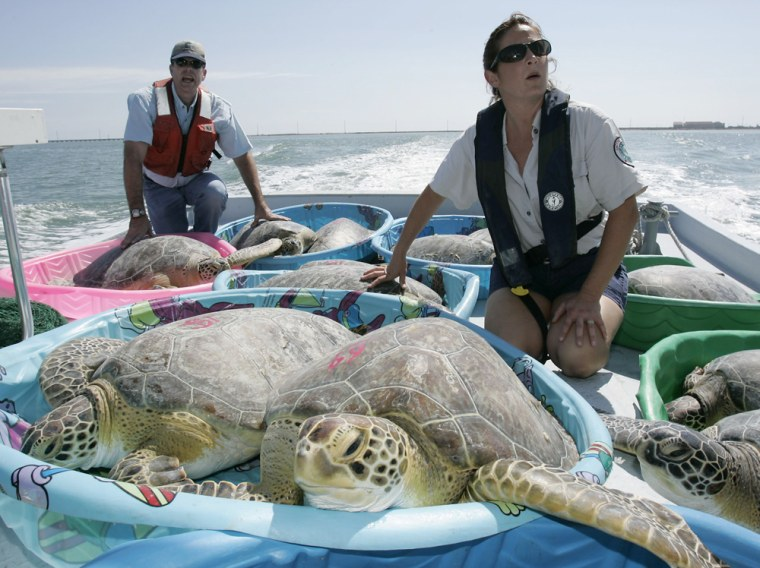 Wildlife officials Mike Ray and Melinda Dunks help transport green sea turtles to a release site in the lower Laguna Madre bay near Port Isabel, Texas, on Wednesday.