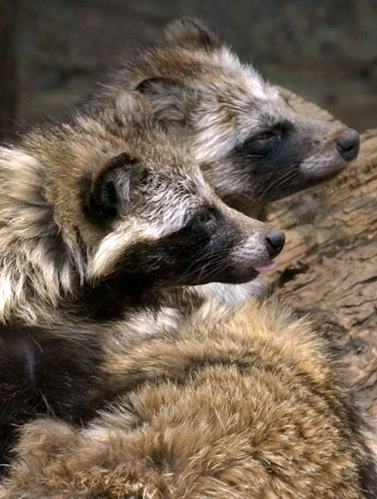 Raccoon dogs look like oversized, fluffy raccoons and aren't kept as pets. Importing their fur is not illegal, but activists argue they are still a type of dog.
