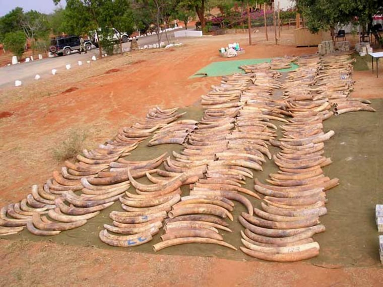 Tusks from the second-largest contraband ivory recovery in history are laid out on the ground in Singapore after they were seized in 2002.