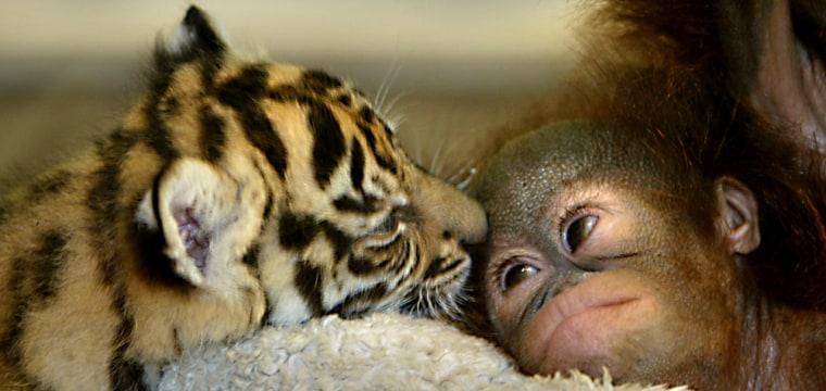 Dema, a Sumatran tiger, licks Nia, a baby orangutan, in a nursery room at the Taman Safari zoo Wednesday in Bogor, Indonesia.