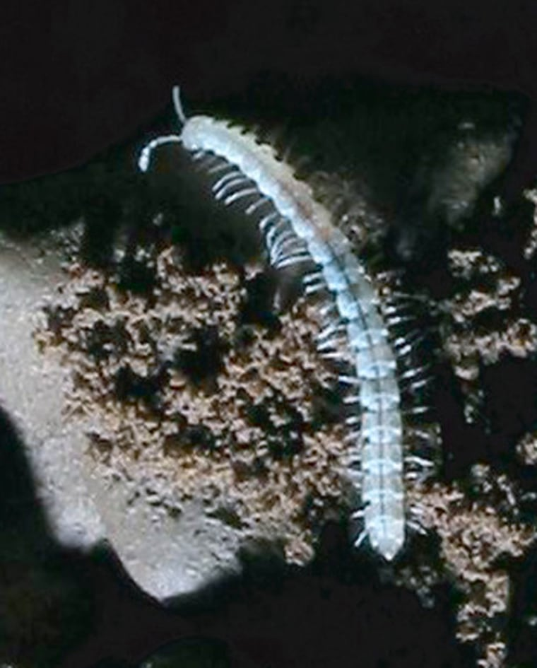 New millipede species found in two caves along the North Rim of the Grand Canyon. Credit: J. Judson Wynne