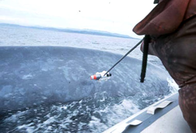 Scientists prepare to attach a 'B-probe' electronic data-logging tag to a blue whale. Credit: John Calambokidis