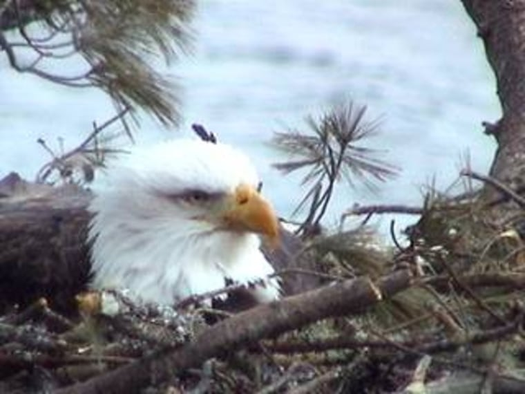 This image froma Web camera taken Thursday shows the nesting bald eagle sitting on at least one egg in her nest along the Maine coastline.