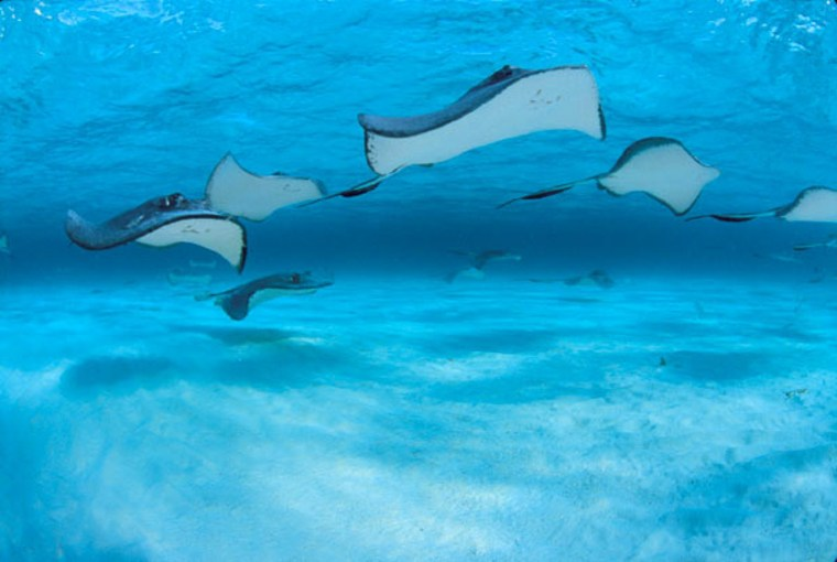 Southern stingrays fly in to get their share of treats from divers at Grand Cayman's Stingray City.