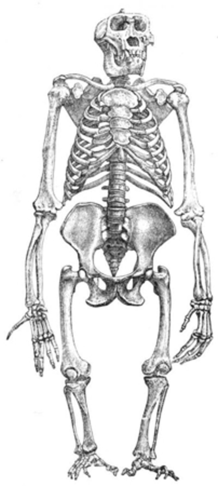 A male gorilla has very short legs relative to body size, a trait that could be an adaptation for stability and strength in male-male combat.