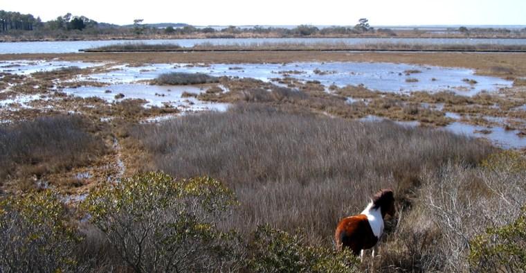 A wild horse grazes on Assateague Island, a barrier island off the coast of Maryland and Virginia.
