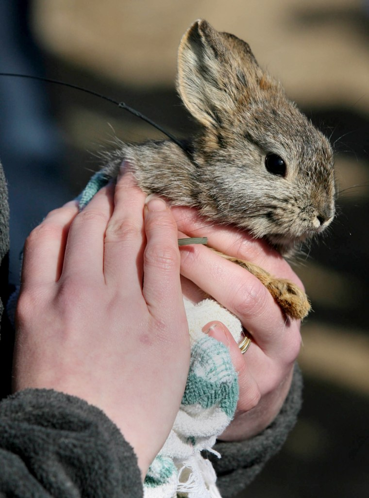 Thispygmy rabbit was part of a group released to the wild near Ephrata, Wash., last March 13.