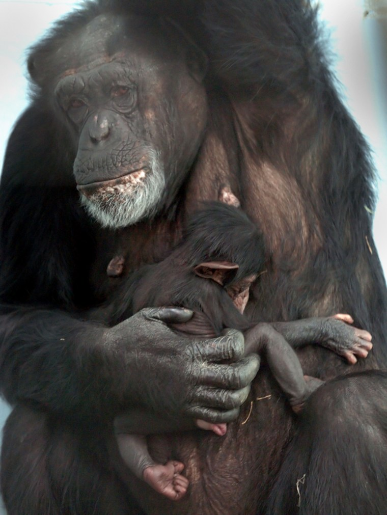 A baby chimpanzee is held by her mom at the Tulsa Zoo and Living Museum in Tulsa, Okla. Scientists say nearly all chimpanzee sex takes place when females are most fertile.