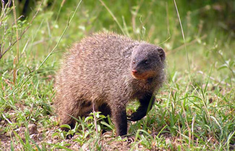 A banded mongoose can be downright nasty to its neighbors, while letting strange species pass right through its territory. That's because neighboring mongooses pose the greatest threat.