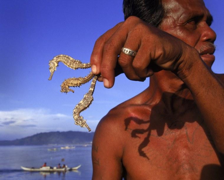 Philippines seahorses