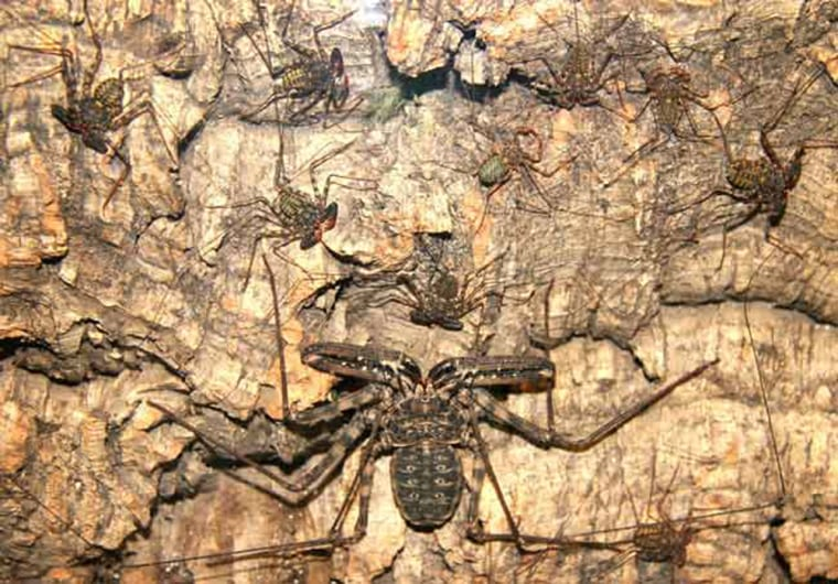 In a display of family tenderness, a mother amblypygid sits with her seven-month-old offspring. The arachnids' whip-like legs are touching one another.