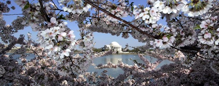 Cherry blossoms line the Tidal Basin in Washington near the Jefferson Memorial.