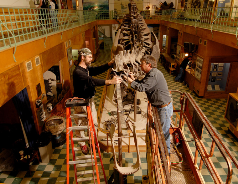 The fossil display of the plant-eating Apatosaurus will be worked on for a year and then returned to the museum in 2008.