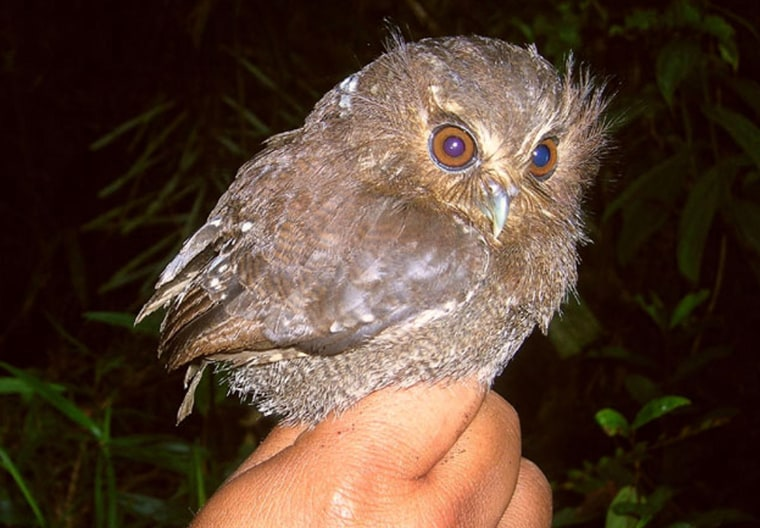 This long-whiskered owlet, an extremely rare species of owl, has been seen in the wild for the first time.