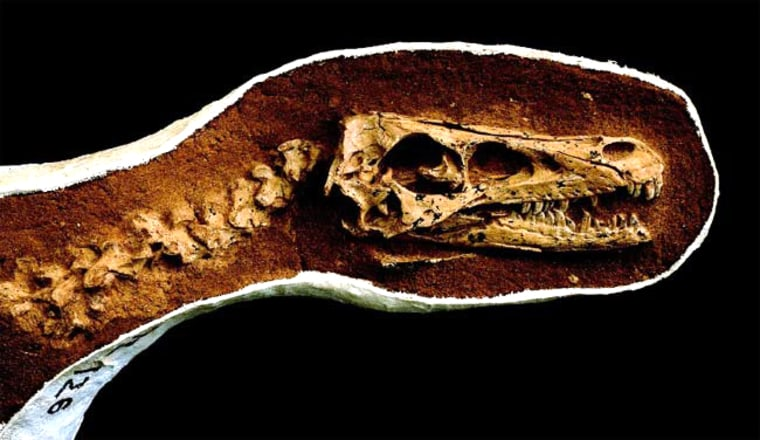 The skull of this dinosaur, Tsaagan mangas, was unearthed in 1993 but only recently identified as a new raptor species.