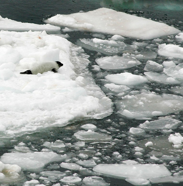 A harp seal pup lies on a melting pan of ice in the Gulf of St. Lawrence