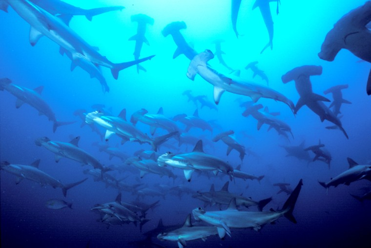 These hammerhead sharks off Colombia look abundant, but their cousins along the East Coast have been overfished and a new study says that is bad news forscallops.