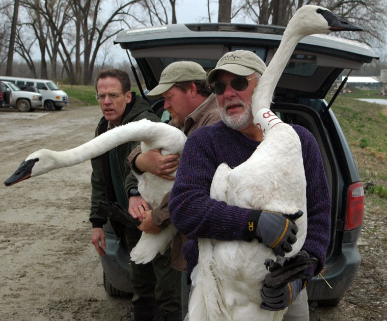 Ron Andrews of the Iowa Department of Natural Resources watches Brian Eldridge and Benjamin Beck, from left, hold two trumpeter swans before releasing them on the Great Ape Trust grounds, Tuesday, April 3, 2007, in Des Moines.