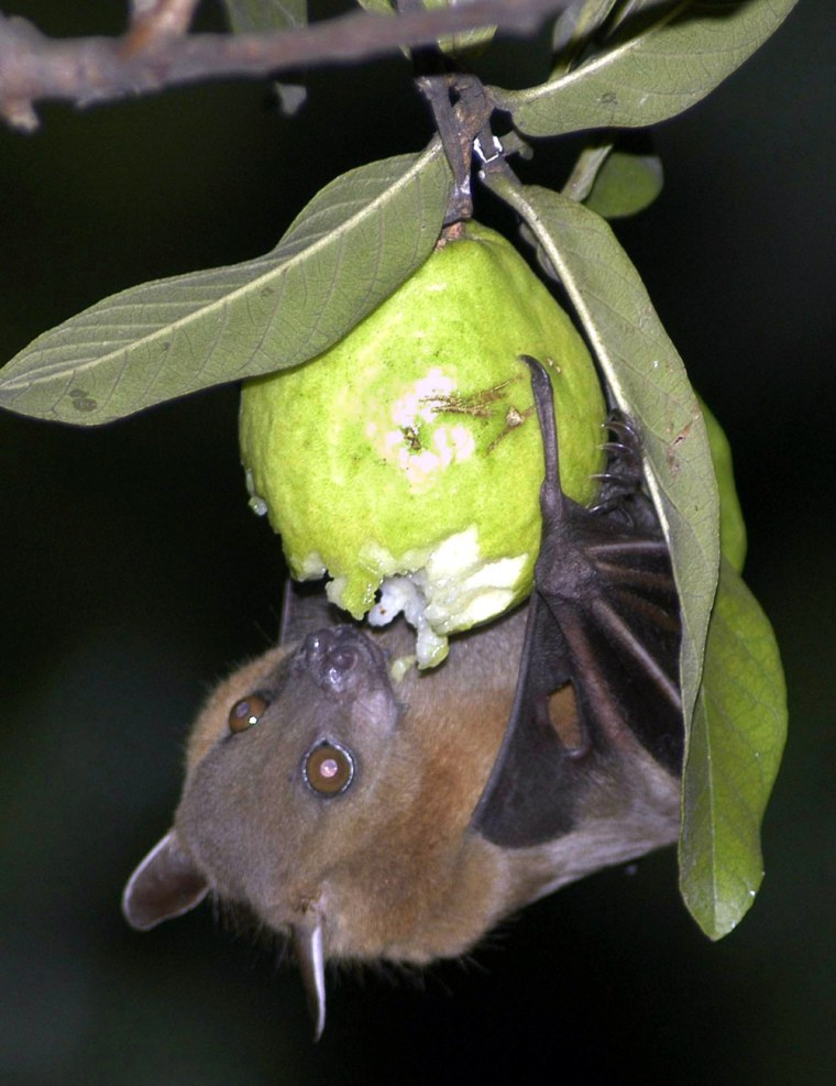 A bat feeds on a guava fruit in Siliguri, India, in the early hours of Monday, Nov. 13, 2006. ( AP Photo/Tarun Das)