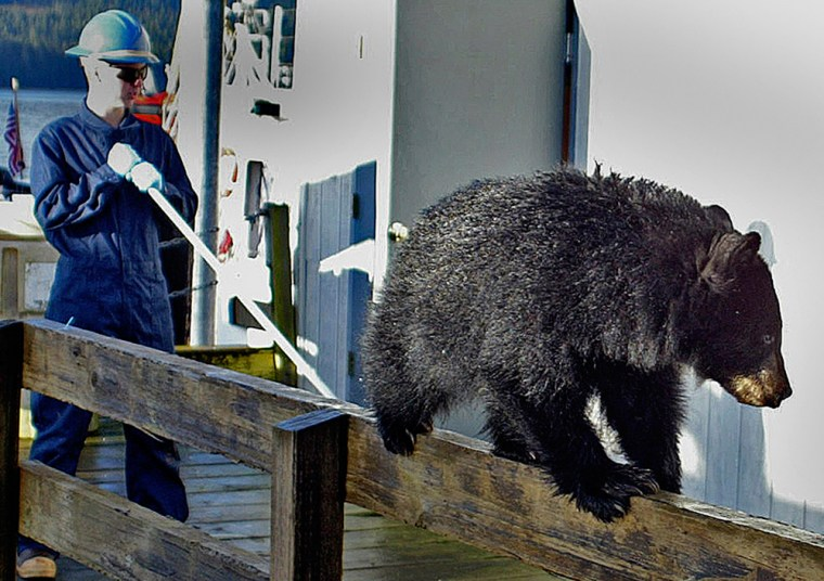 Thisblack bear cub was found walkingalong a dock railing in Petersburg, Alaska, last Nov. 2. The bears are showing up more often in urban areas, leading officials to expand a predator control program.