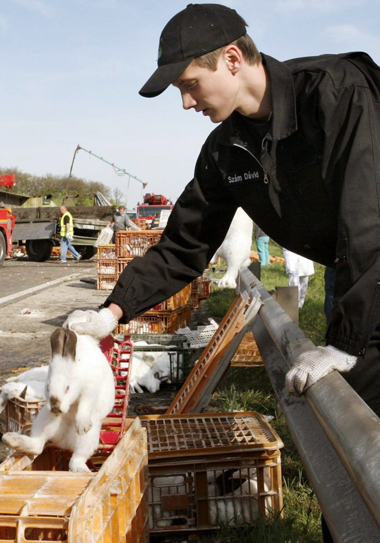 A fireman puts one of the rabbits into a cage on the M1 highway near Bicske, Hungary.