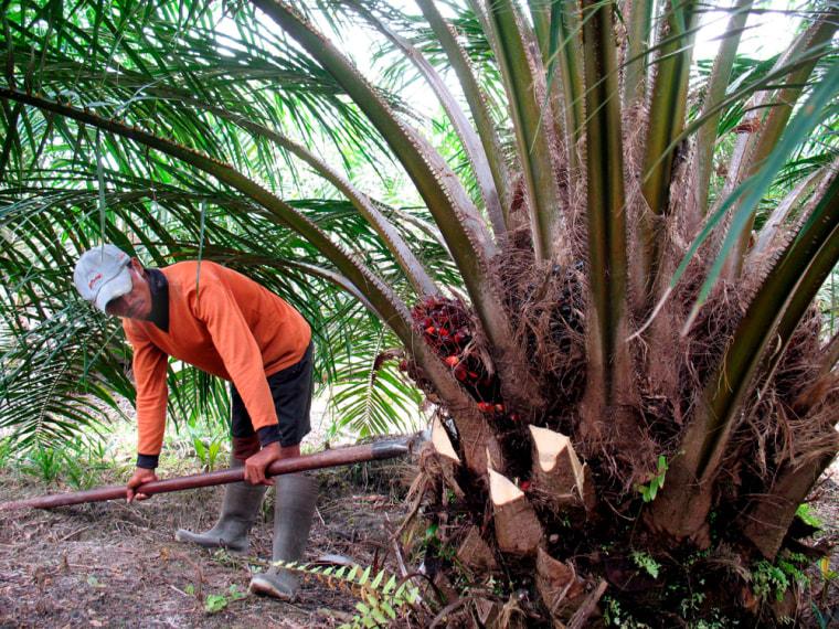Palm oil tree plantation in Kalimantan