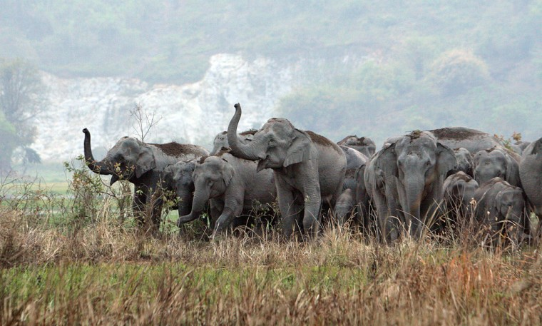 Elephants from the nearby Amsung reserve forest roam arice field in search of food near Gauhati, India, on March 22. The town over the weekend saw one elephant kill a villager and anothermenace fishermen.