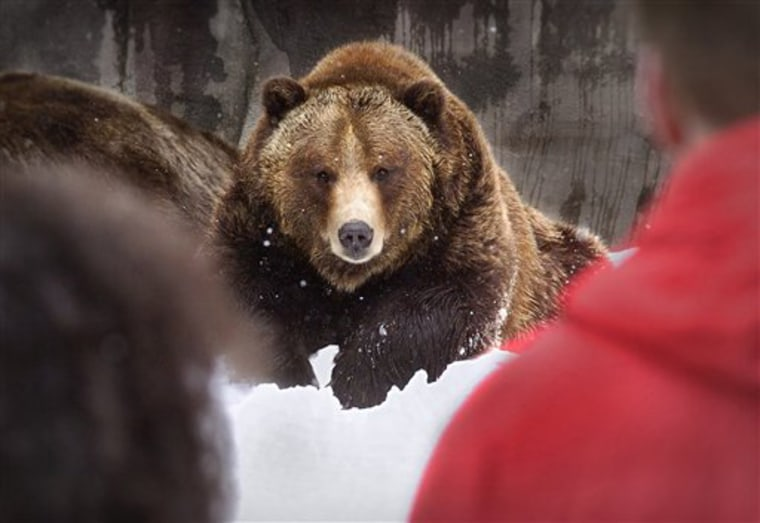 """Boo-Boo,"" an Alaskan grizzly bear, at a zoo in Grand Rapids, Mich. More than three dozen scientists are protesting a new Bush administration interpretation of the Endangered Species Act, saying it jeopardizes high-profile animals such as wolves and grizzly bears."