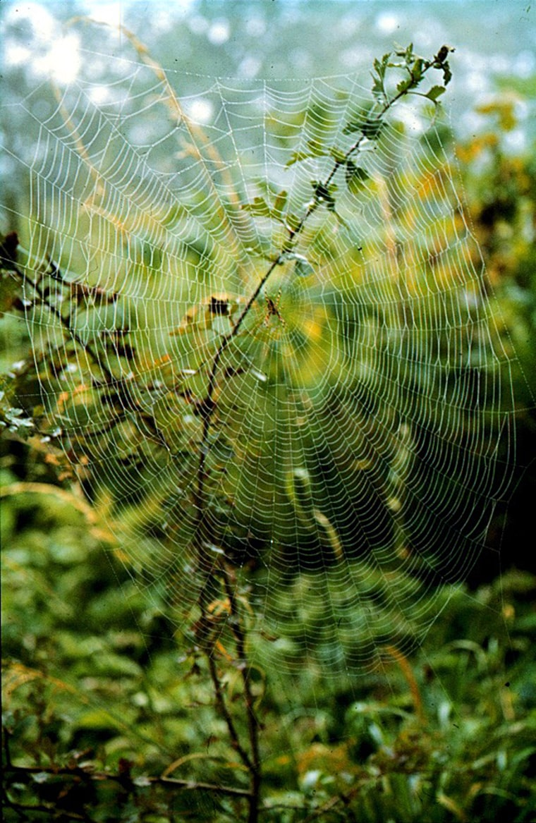 Spider silks, as seen in this wagon-wheel shaped net, are stronger than bullet-proof Kevlar and more elastic than nylon.