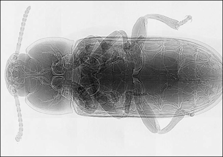 An X-ray of the yellow mealworm beetle showing the system of white tubes or tracheae running through its body.