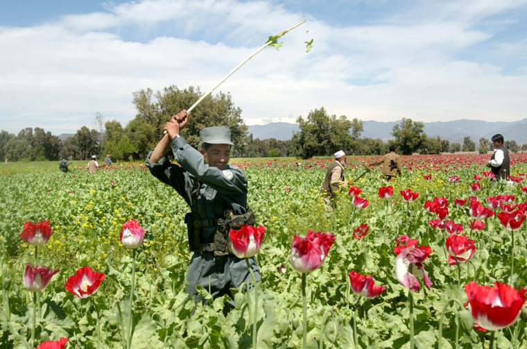 An Afghan police officer destroys opium poppies during an eradication campaign in Nangarhar province, east of Kabul, in April.