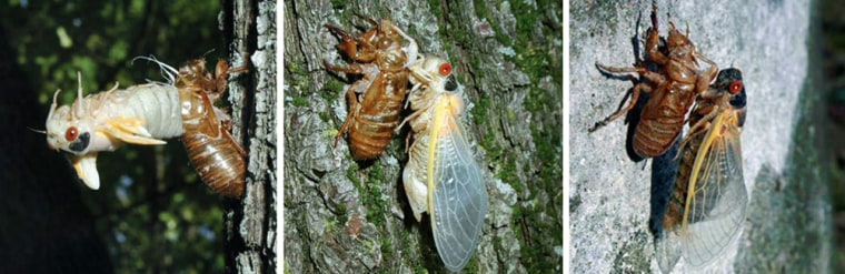 These undated photos show the emergence of the periodical cicada. From left: the cicada molts from nymph to adult; in teneral stage, wings expanded, while its new exoskeleton hardens, and a red-eyed adult, skin hardened.
