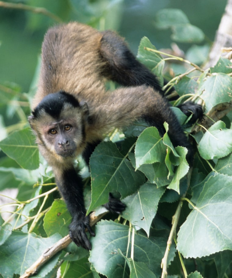 A capuchin monkey peers into the camera lens in this photo, taken at the Denver Zoo. Colorado health officials and Denver Zoo workers are increasing precautions to prevent an epidemic after a capuchin monkey at the zoo died of plague last week.