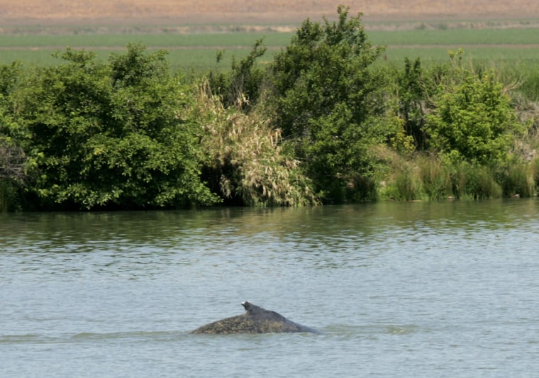 Humpback Whales Remain Far From Ocean In Sacramento River Delta