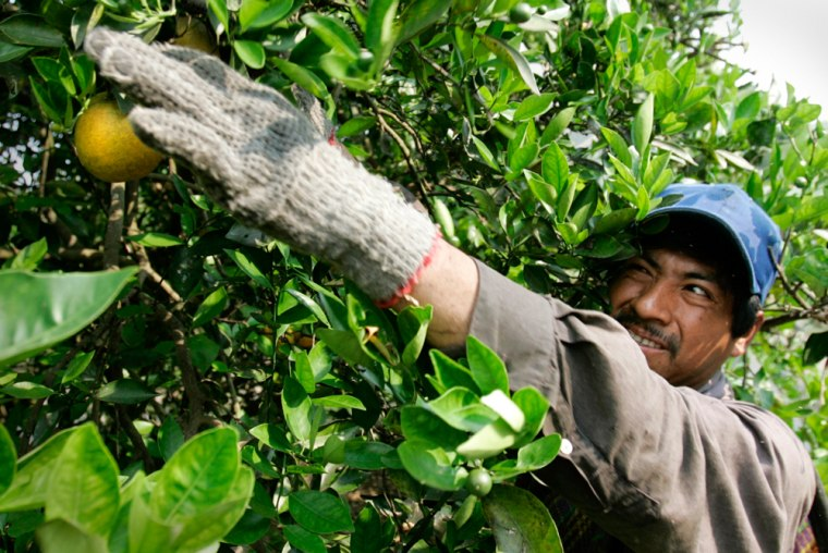 Celestino Galindo Dominguez, 34, of Veracruz, Mexico, picks oranges at a citrus farm owned by Sorrells Brothers Inc. in the Central Florida town of Arcadia, Fla. He is working in the country as a temporary worker with an H-2A agriculture work visa.