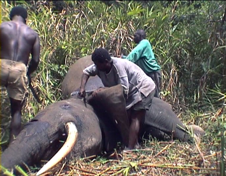 In this image made from video released by Karl Amman, a wildlife photographer, poachers skin a forest elephant for its meat and tusks in the Bangui forest onMay 3.